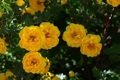 Yellow wild rose bush in bloom. Outdoor, dog, dogrose, aroma, background, beautiful, beauty, blooming, blossom, botanical, botany, briar, brier, bright stock photography