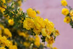 Yellow wild rose bush in bloom. Outdoor, dog, dogrose, aroma, background, beautiful, beauty, blooming, blossom, botanical, botany, briar, brier, bright stock images