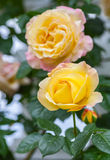 Yellow wild rose in the garden Stock Photography