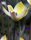Yellow wild tulip Stock Image