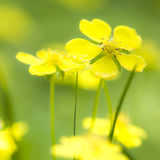 Yellow wildflower Stock Photography