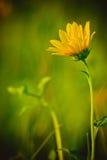 Yellow Wildflower Stock Photography