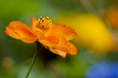 Yellow wildflower. A yellow wildflower on a multicolored bokeh Royalty Free Stock Photos