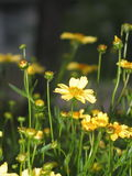 Yellow Wildflower. Close up of little or small yellow flower and friends stock photo