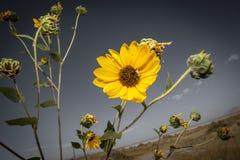 Yellow wildflower on banks of Great Salt Lake, Utah. A yellow wildflower grows near the Great Salt Lake in Salt Lake City, Utah Royalty Free Stock Photos