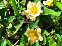 yellow wildflower called wireweed stock photo