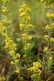Yellow Wildflower. Closeup of Yellow Wildflowers in a field Stock Photography