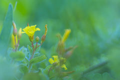 Yellow wildflower in the field. With green background Royalty Free Stock Image