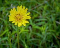 Yellow Wildflower in Full Bloom with a Bud nearby Royalty Free Stock Image