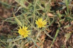 Yellow wildflower Goat& x27;s Beard Stock Photography