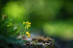 Yellow wildflower on the gravel Royalty Free Stock Photography