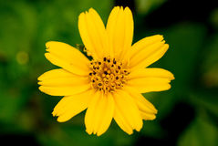 Yellow wildflower in green Royalty Free Stock Image