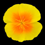Yellow Wildflower with orange center Isolated Royalty Free Stock Photography
