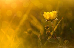 Yellow wildflower. On spring meadow Stock Photos