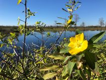 yellow wildflower in the swamps stock images