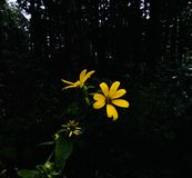 Yellow Wildflower royalty free stock photography