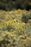 Yellow Wildflowers. Photographed in springtime on a mountaintop Stock Photos