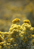 Yellow Wildflowers. Photographed in springtime on a mountaintop Stock Images