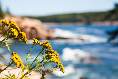 Yellow Wildflowers with Acadia National Park in Background Royalty Free Stock Images