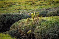 Yellow wildflowers along the banks of wetland channels and tall royalty free stock images
