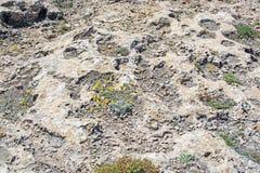 Yellow wildflowers blossom grow in rugged limestone terrain Mallorca royalty free stock image
