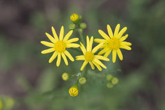 Yellow Wildflowers. With blurry background Stock Photos