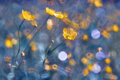 Yellow wildflowers. Buttercup. Summer and spring background. Yellow wildflowers, Buttercup. Summer and spring background Royalty Free Stock Photography