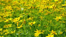 Yellow wildflowers. Camera movement with a single flower at the bottom and at the top where you can see the whole field. stock video footage