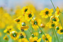 Yellow wildflowers. On a clear summer day Royalty Free Stock Images