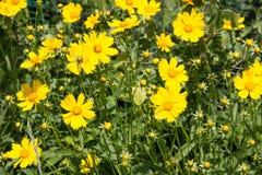 Yellow wildflowers Royalty Free Stock Photos