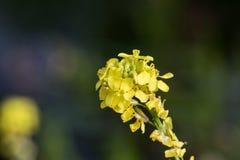 Yellow wildflowers close up with dark bokeh. Yellow wildflowers close up with dark green bokeh as background Stock Photos