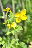 Yellow wildflowers close-up stock images