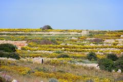 Yellow wildflowers in the countryside, Malta. Pretty yellow Spring flowers in terraced fields near Siggiewi during the Springtime, Malta, Europe Royalty Free Stock Photography