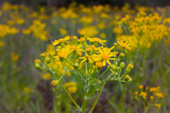 Yellow Wildflowers Royalty Free Stock Photography