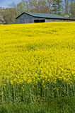 Yellow Wildflowers In Front of Old Barn Stock Photos