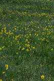 Yellow wildflowers in green grass royalty free stock image