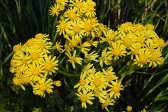 Yellow wildflowers growing. Bunch of yellow wildflowers on side of road Royalty Free Stock Photo
