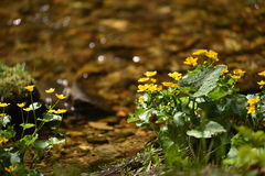 Yellow wildflowers living on soggy, wet soil Stock Images