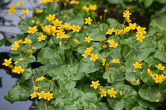 Yellow wildflowers living on soggy, wet soil Royalty Free Stock Photo