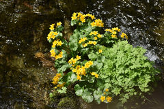 Yellow wildflowers living on wet soil Royalty Free Stock Image