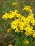 Yellow wildflowers in a meadow Royalty Free Stock Photography
