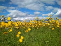 Yellow wildflowers in the meadow royalty free stock image