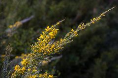 Yellow wildflowers on Mount Hotham, Victorian Alps, Australia Stock Images