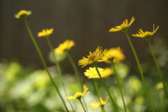 Yellow Wildflowers In My Home Garden Royalty Free Stock Photography