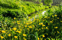 Yellow wildflowers near the creek Royalty Free Stock Images