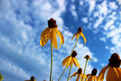 Yellow wildflowers with sky background Stock Images