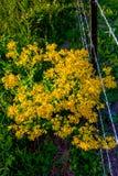 Yellow Wildflowers in Texas Stock Photo