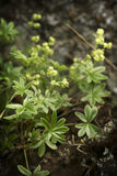 Yellow Wildflowers. On top of mossy rock Royalty Free Stock Photo
