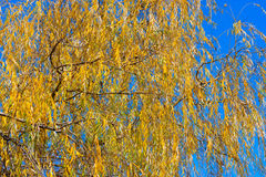 Yellow willow Stock Photo
