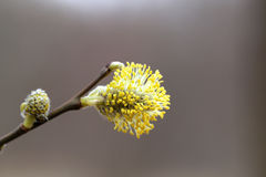 Yellow willow buds in the park Royalty Free Stock Images